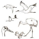 Lös fågelvektor Djur i natur eller i himlen Kranar eller Grus och stork eller shadoof och Ciconia med vingar inristat stock illustrationer