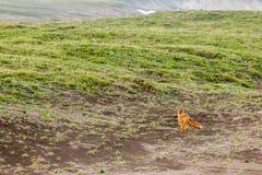 Lös för Vulpesvulpes för röd räv som beringiana bort kör Kamchatka halvö, Ryssland royaltyfria foton