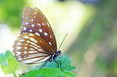 Lös fjäril på trädbladet Arkivfoton