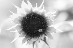 Lös fluga i svartvitt Royaltyfri Foto