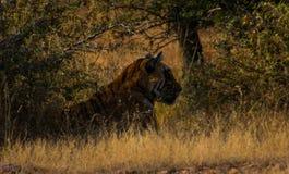Lös fri indier Tiger Ranthambore Royaltyfri Bild