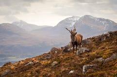 Lös fullvuxen hankronhjort, skotska högländer Royaltyfri Fotografi
