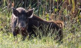 Lös gödsvin i våtmarkområde Royaltyfri Fotografi