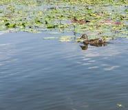 Lös gräsandand, Anasplatyrhynchos, på vattnet Royaltyfri Foto