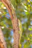 Lös grön gecko fotografering för bildbyråer