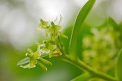 Lös grön vändkretsorkidéblomma, naturlivsmiljö Härlig orkidéblom, närbilddetalj wild blomma Naturferie i vändkretsen fo Royaltyfria Foton
