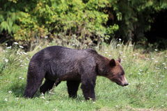 Lös grisslybjörn Bear3 Arkivfoto