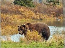 Lös grisslybjörn i Alaska royaltyfria foton