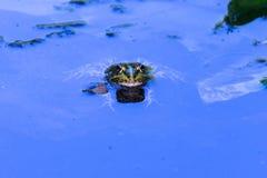 Lös groda i det blåa vattnet, med reflexion Kirklareli Turkiet royaltyfria foton