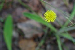 Lös gul blomma i skogslutet upp Arkivfoto