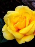 Lös guling väcker Royaltyfri Bild