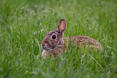 Lös gullig kanin som sitter på gräset i ett grönt fältskott från upp nära royaltyfri bild