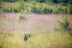 Lös hare i ett fält royaltyfri foto