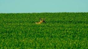 Lös hare i fältet stock video