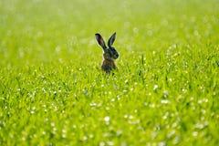 Lös hare i fältet Royaltyfria Foton