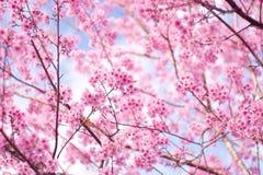 Lös Himalayan körsbär (Prunuscerasoides) på det Phu Lom Lo berget Arkivfoton
