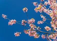 Lös Himalayan körsbär (Prunuscerasoides) på Khun Wang, Doi Inthanon Royaltyfria Bilder