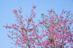 Lös Himalayan körsbär (Prunuscerasoides) på Khun Wang, Doi Inthanon Arkivfoto