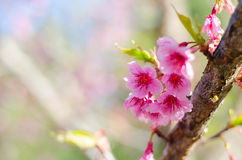 Lös Himalayan körsbärsröd blomma Royaltyfri Bild