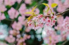 Lös Himalayan körsbärsröd blomma Royaltyfria Bilder