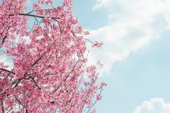 Lös Himalayan körsbärsröd blomma Arkivfoto