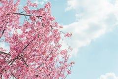 Lös Himalayan körsbärsröd blomma Arkivbild