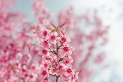 Lös Himalayan körsbärsröd blomma Royaltyfri Foto