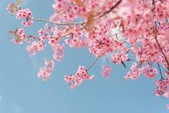 Lös Himalayan körsbärsröd blomma Fotografering för Bildbyråer