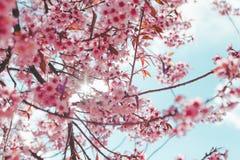 Lös Himalayan körsbärsröd blomma Arkivfoton