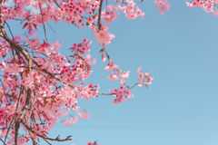 Lös Himalayan körsbärsröd blomma Royaltyfria Foton