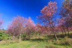Lös Himalayan körsbärsröd blomma (Thailand sakura eller Prunuscerasoides) på det Phu Lom Lo berget, Loei, Thailand royaltyfri foto