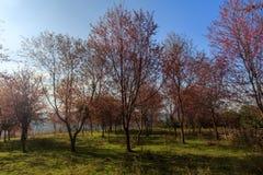 Lös Himalayan körsbärsröd blomma (Thailand sakura eller Prunuscerasoides) på det Phu Lom Lo berget, Loei, Thailand royaltyfria foton