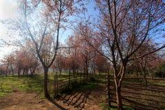 Lös Himalayan körsbärsröd blomma (Thailand sakura eller Prunuscerasoides) på det Phu Lom Lo berget, Loei, Thailand fotografering för bildbyråer