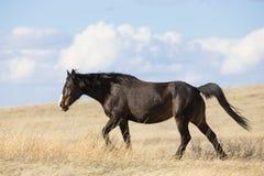 Lös hingst i North Dakota arkivfoto