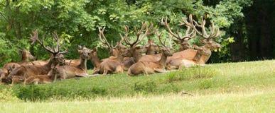 Lös hjortgrupp royaltyfri bild