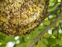 Lös honungsbibikupa i ett träd royaltyfri foto