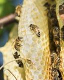 Lös honungskaka och bin arkivbilder