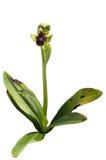 Lös humlaorkidéväxt över vit - Ophrysbombyliflora Royaltyfri Foto