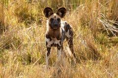 Lös hund - den Okavango deltan - Moremi N P Royaltyfria Foton