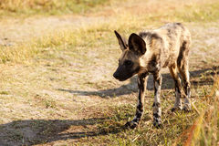 Lös hund - den Okavango deltan - Moremi N P Royaltyfri Bild