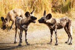 Lös hund - den Okavango deltan - Moremi N P Royaltyfria Bilder