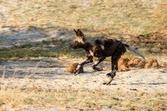 Lös hund - den Okavango deltan - Moremi N P Royaltyfri Fotografi
