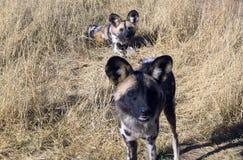 Lös hundkapplöpning i Namibia Arkivbild