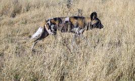 Lös hundkapplöpning i Namibia Arkivbilder