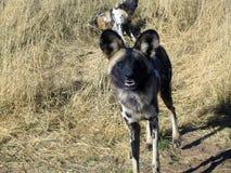 Lös hundkapplöpning i Namibia Arkivfoto