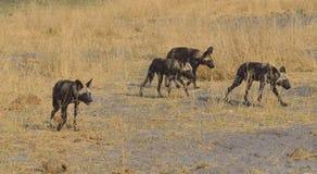 Lös hundkapplöpning på kringstrykandet Bostswana Afrika Arkivfoto