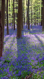 Lös hyacint i Hallerbos i Belgien Arkivfoton