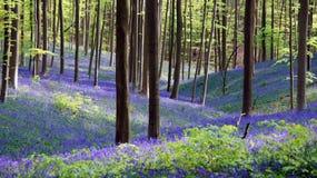 Lös hyacint i Hallerbos i Belgien Fotografering för Bildbyråer
