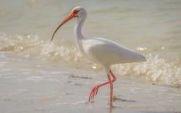 Lös ibis på Atlanticet Ocean, Florida, USA Arkivfoton
