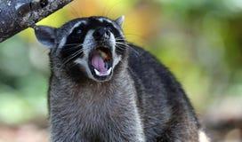 Lös ilsken tvättbjörn i djungeln av Costa Rica väntande på mat royaltyfria bilder